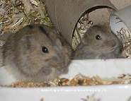 Steppenlemminge.ch: Haustiere lemminge, nager, nagetiere, hamster, rennm�use . . . . .